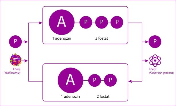 ATP_ADP
